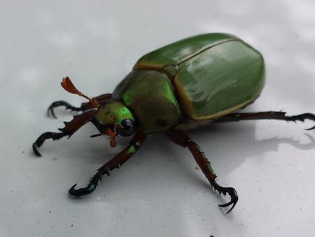 Golf Bug
