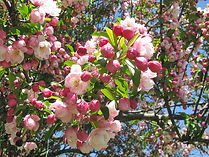 Appleblossoms.jpg