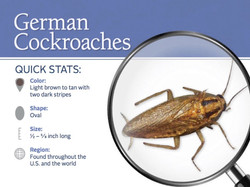 What is a German Cockroach?