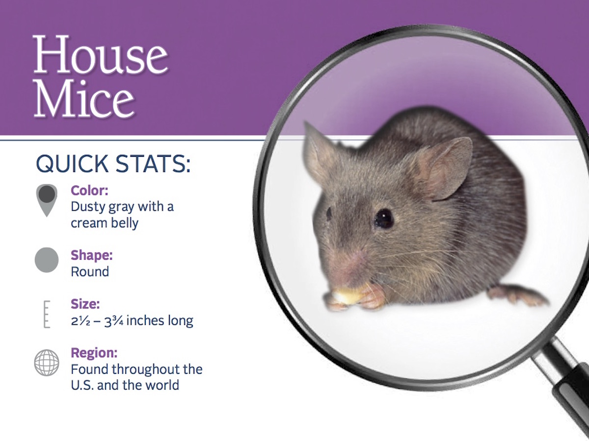 What does a House Mouse look like?