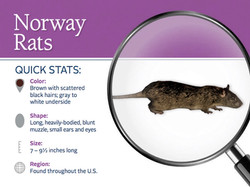 What does a Norway Rat look like?