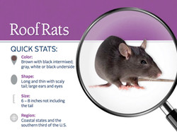 What does a Roof Rat look like?