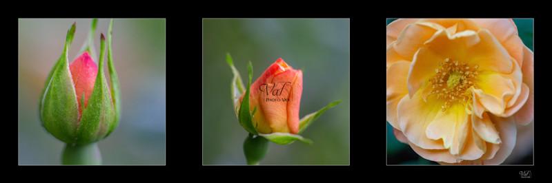 Décoration murale - éclosion d'une rose - - Valphotovar photographe.jpeg