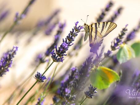 Papillons papillonnent...