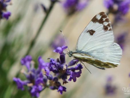 Papillons papillonnent