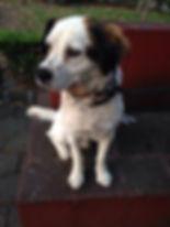 Perro blanco en adopcion