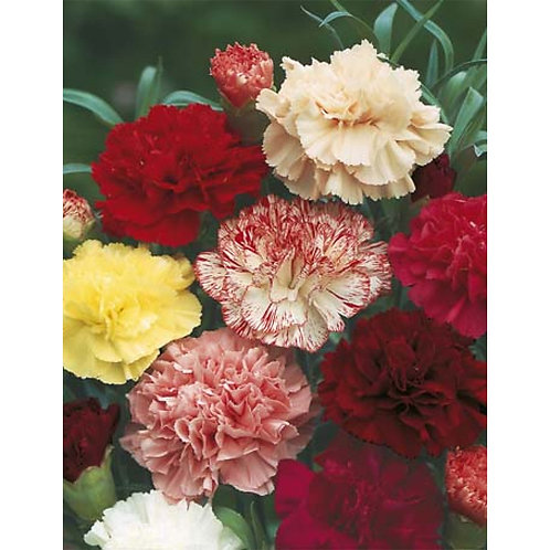 Mr. Fothergill's Packet Seeds Carnation Choice Double Mixed