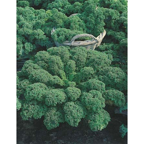 Mr. Fothergill's Packet Seeds Kale Dwarf Green Curled