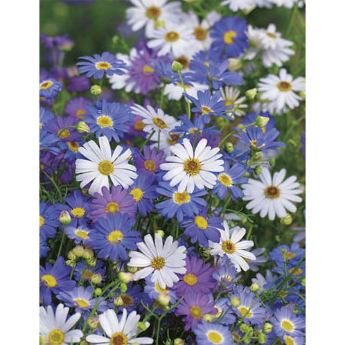 Mr. Fothergill's Packet Seeds Swan River Daisy Summer Skies