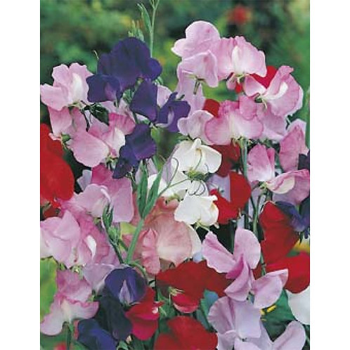 Mr. Fothergill's Packet Seeds Sweet Pea Mammoth Mixed VALUE PACK