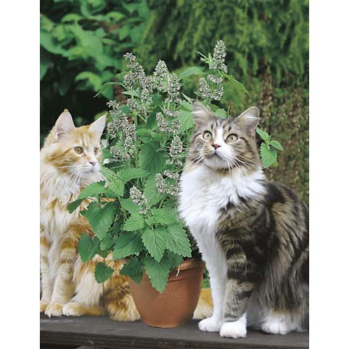 Mr. Fothergill's Packet Seeds Catmint / Catnip