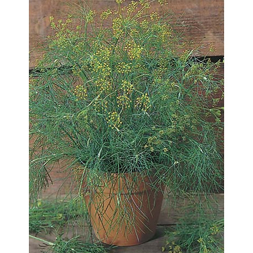 Mr. Fothergill's Packet Seeds Dill