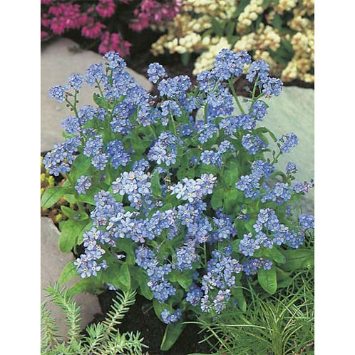 Mr. Fothergill's Packet Seeds Forget-Me-Not Indigo