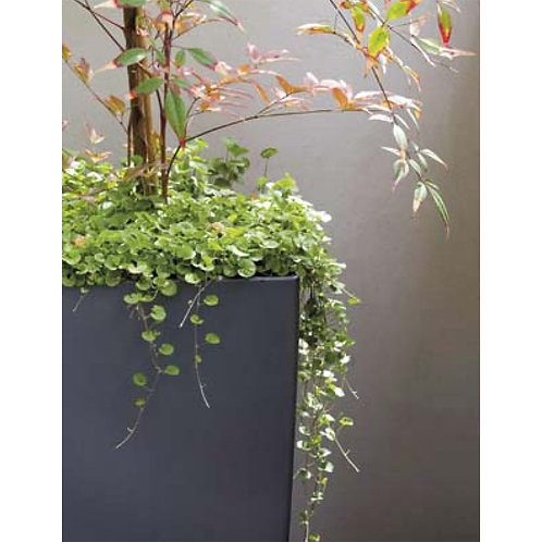 Mr. Fothergill's Packet Seeds Dichondra