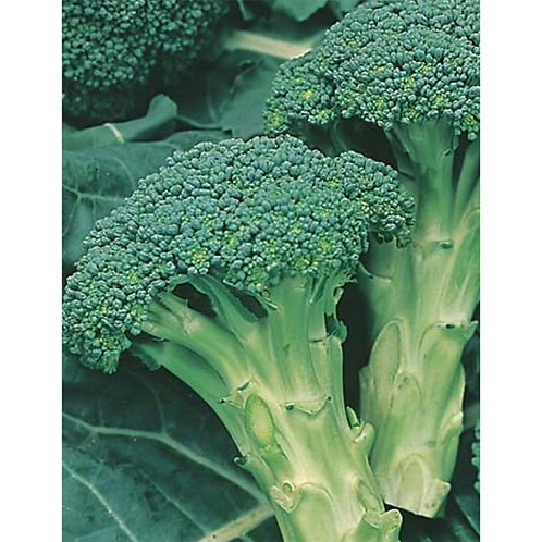 Mr. Fothergill's Packet Seeds Broccoli Italian Sprouting