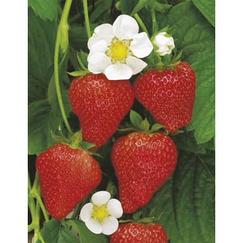 Mr. Fothergill's Packet Seeds Strawberry Temptation