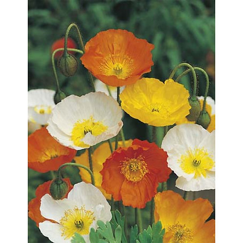 Mr. Fothergill's Packet Seeds Poppy Iceland Mixed Colours