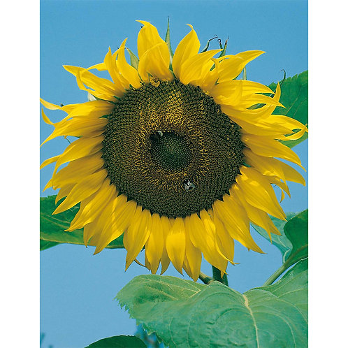 Mr. Fothergill's Packet Seeds Sunflower Giant Russian