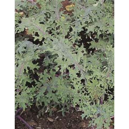 Mr. Fothergill's Packet Seeds Kale Russian Red