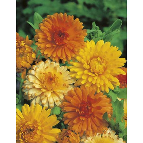 Mr. Fothergill's Packet Seeds Calendula Pacific Beauty Mixed