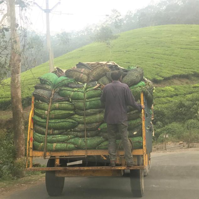 Tea pickers in Kerala