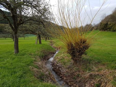 Die letzte Wiesenbacher Korb-Weide