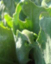 菜蟲 與 高麗菜DSC07884  20110205大慧_edited.JPG