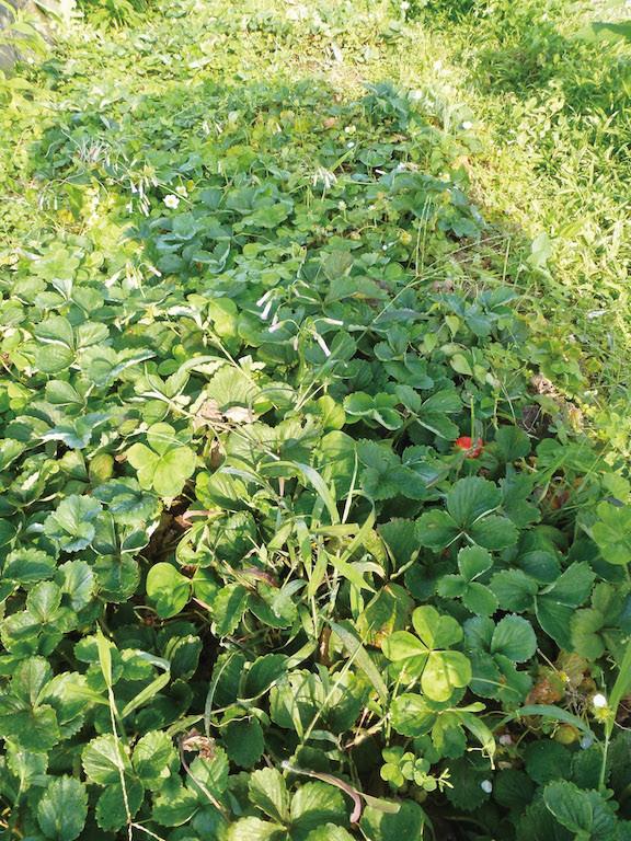 清淨農法草莓園