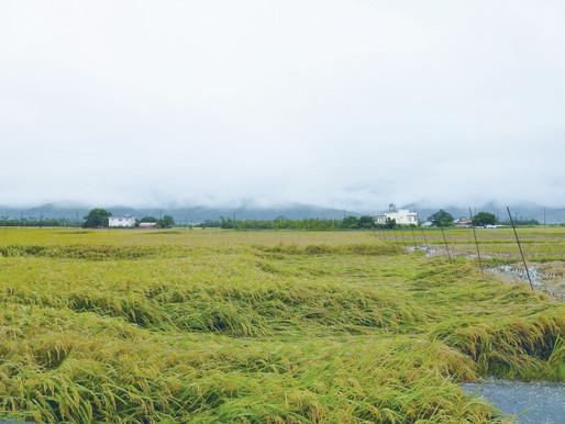 強風大雨過後,稻米怎麼了?!
