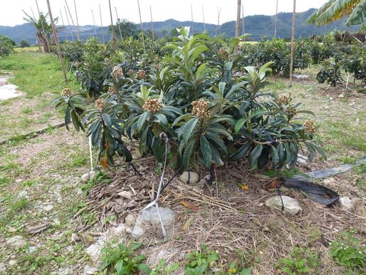 農地新手,高樹摘果趣。