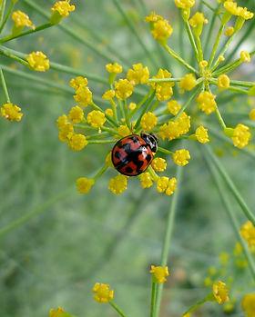 茴香花與瓢蟲.JPG