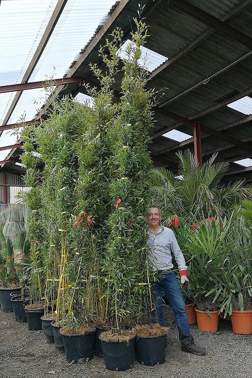 Semiarundinaria Yashadake 'Kimmei' Bamboo Plants