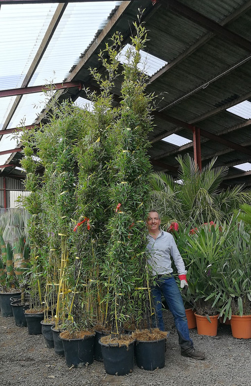 Black Bamboo Plants For