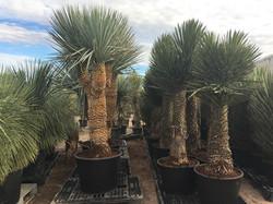 Yucca Rigida.
