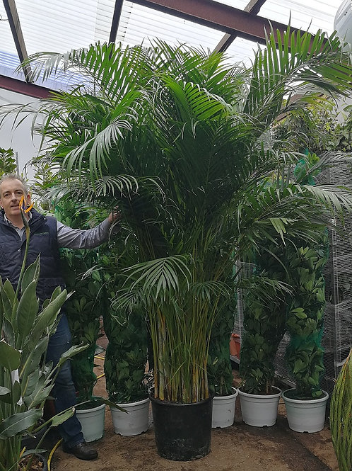 Extra large Areca Palm. Extra large Dypsis Lutescens Palm. Extra Large Indoor Palm for Sale