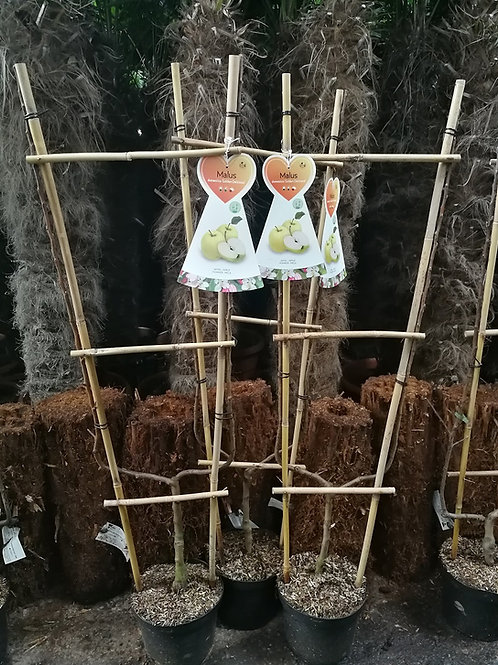 U Shaped Cordon Trained Fruit Trees. Apple and Pear Trained Fruit Trees.