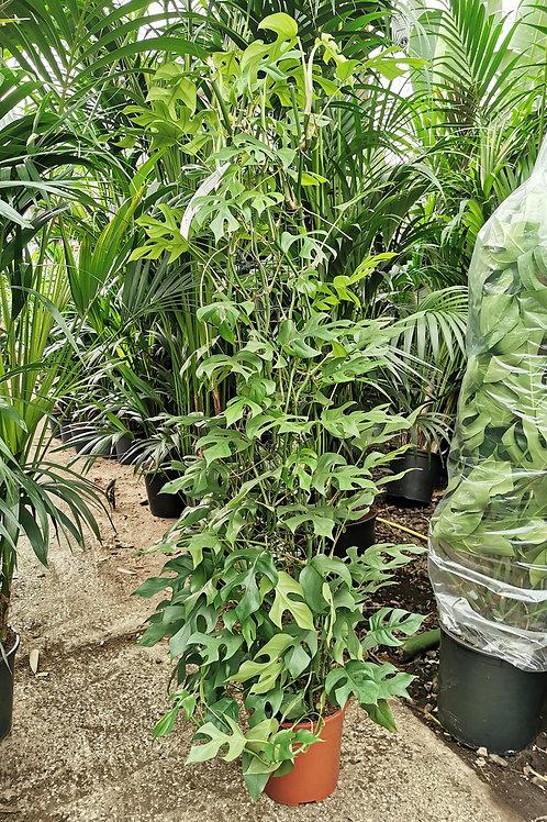 Monstera Minima Plants. Philodendron Piccola
