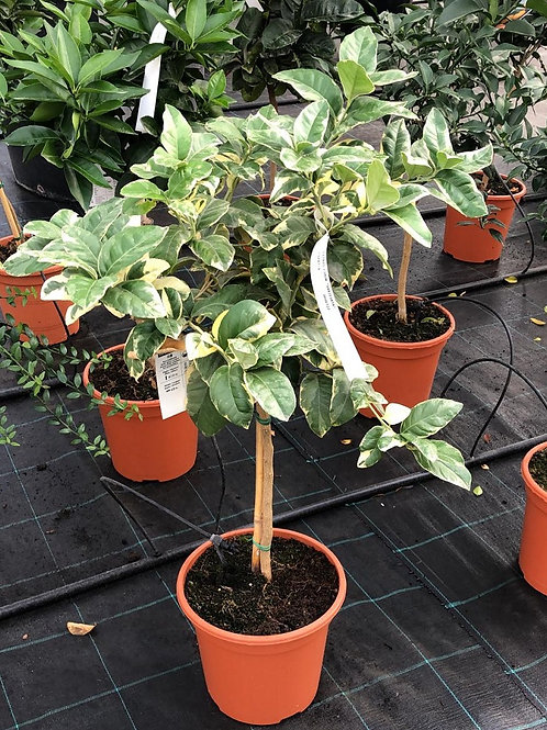 Small Variegated Lemon Trees For Sale