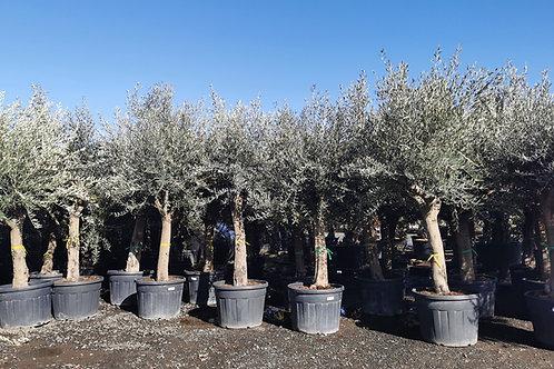 Large European Olive Trees. Open Crown European Olive Trees