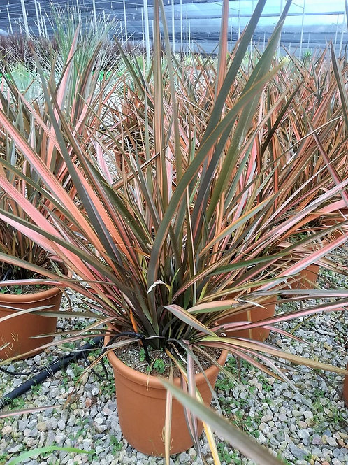 Phormium 'Flamingo'. New Zealand Flax 'Flamingo' Plants for Sale