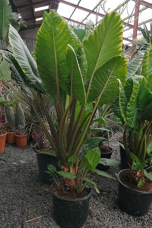 Large Alocasia Brisbanensis Plants For Sale. Cunjevoi Lily.