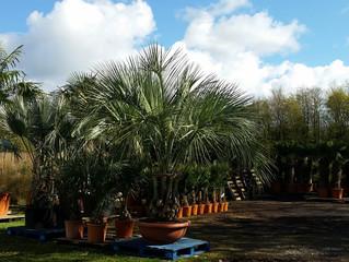 Hardy Palms Trees from The Palm Tree Company