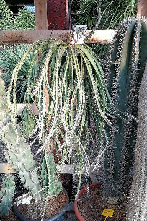 Lepismum Cruciforme Cactus. Large Hanging Cacti For Sale