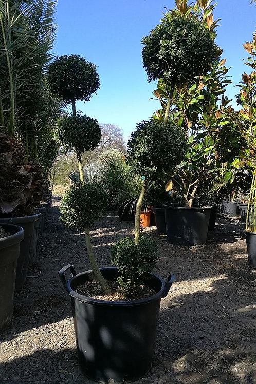 ILEX CRENATA 'KINME' POM POM TOPIARY TREE.