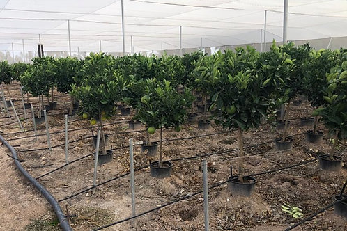 Large Grapefruit Trees For Sale