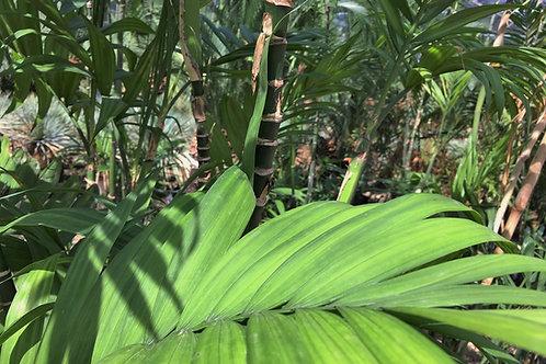 Chamaedorea Seifrizii. Bamboo Palm
