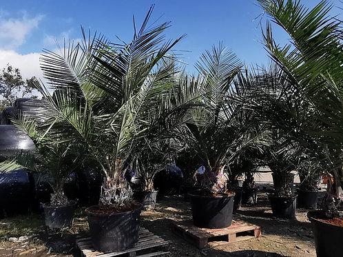 Large Jubaea Chilensis Palm