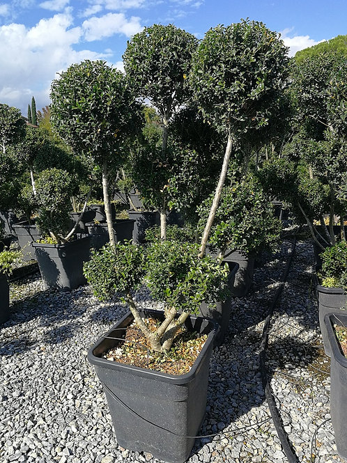 Ilex Crenata 'Glory Gem' Pom Pom Topiary Trees.