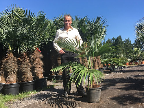 Stonegate Palm.