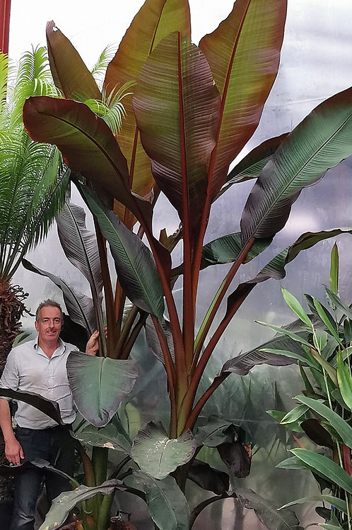 Large Ensete Maurelii Plants. Red Abyssinian Banana Plants